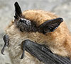 Eastern Small Footed Bat
