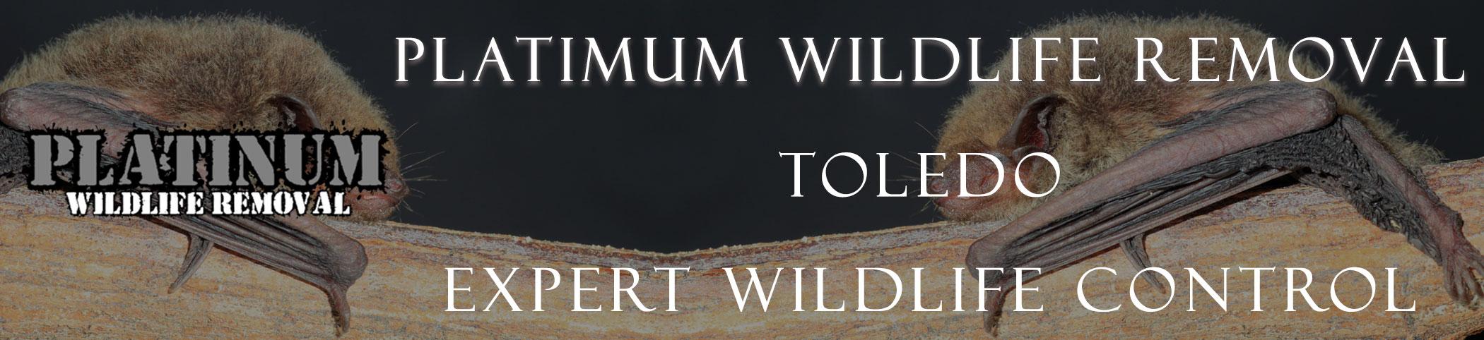 Platinum-Wildlife-Removal_Toledo-HEADERS at bat removal pro