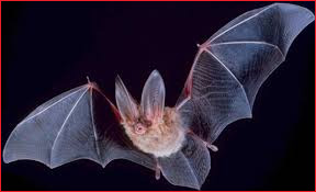 Above & Beyond Wildlife Control's Spring Hill Florida Bat Removal Division Image of a bat