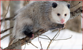 Hudson Michigan Opossum Removal