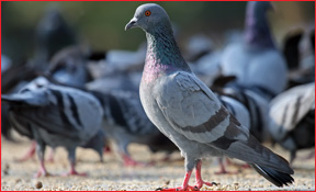 Flat Rock Michigan Pigeon Removal