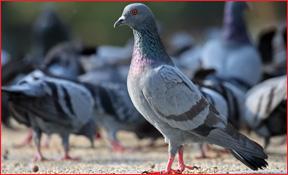 pigeon removal A & D Construction Plus