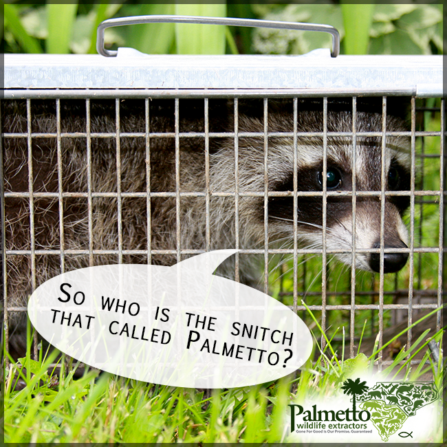 This raccoon couldn't get past us. BUT, he'll be moved where he can't bother anyone.