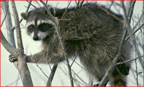 Hudson Michigan Raccoon Removal