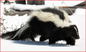 Hudson Michigan Skunk Removal