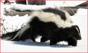 skunk  removal A & D Construction Plus