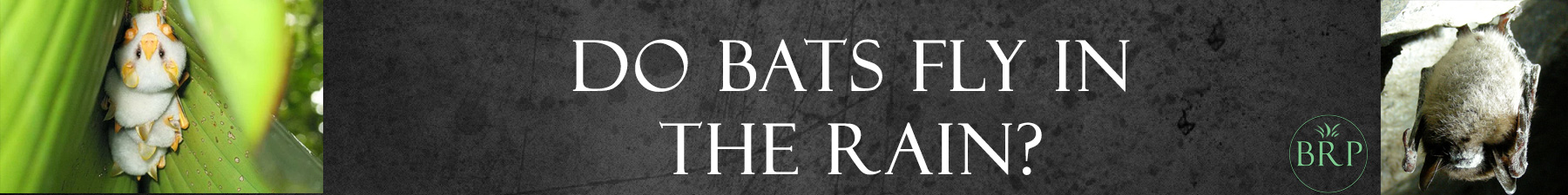 can bats fly in the rain header image at bat removal pro