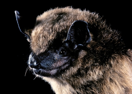 brown bat at bat removal pro national directory