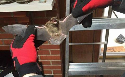 Humanely Captured Bat Being Displayed