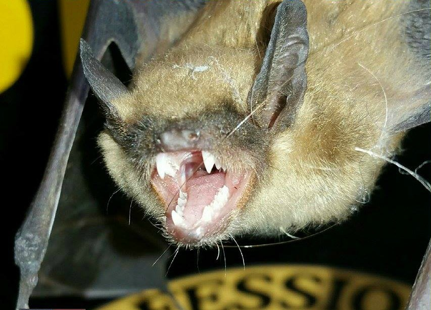 Big brown bat and A and D Construction Plus