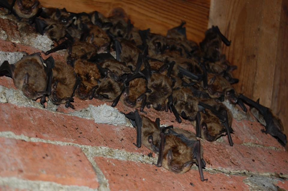 Bats hanging out in an attic along the chimney.