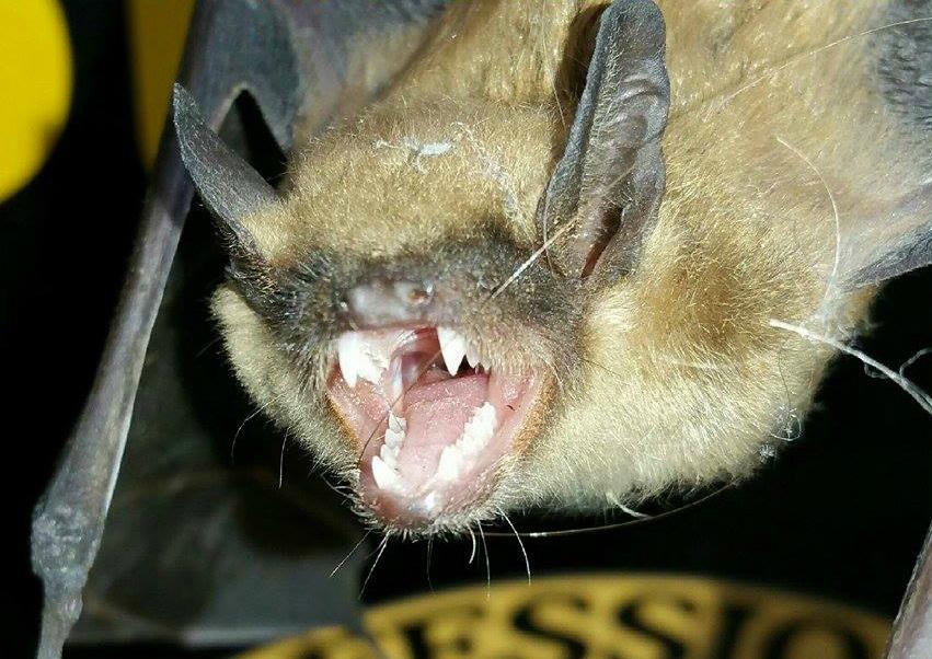 Bat With Very Sharp Teeth