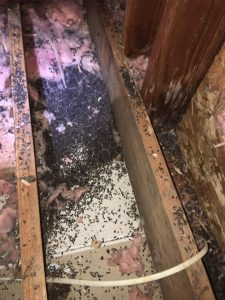 Bat Guano Cleanup Info Amp Lists Of Bat Guano Removal Experts