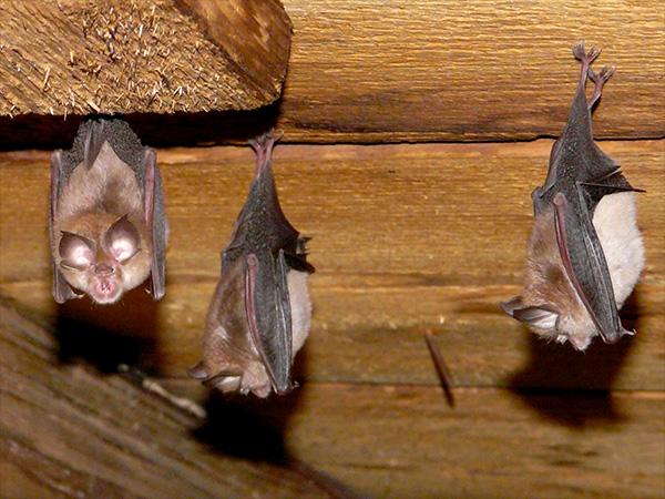 Bats Hanging In Attic