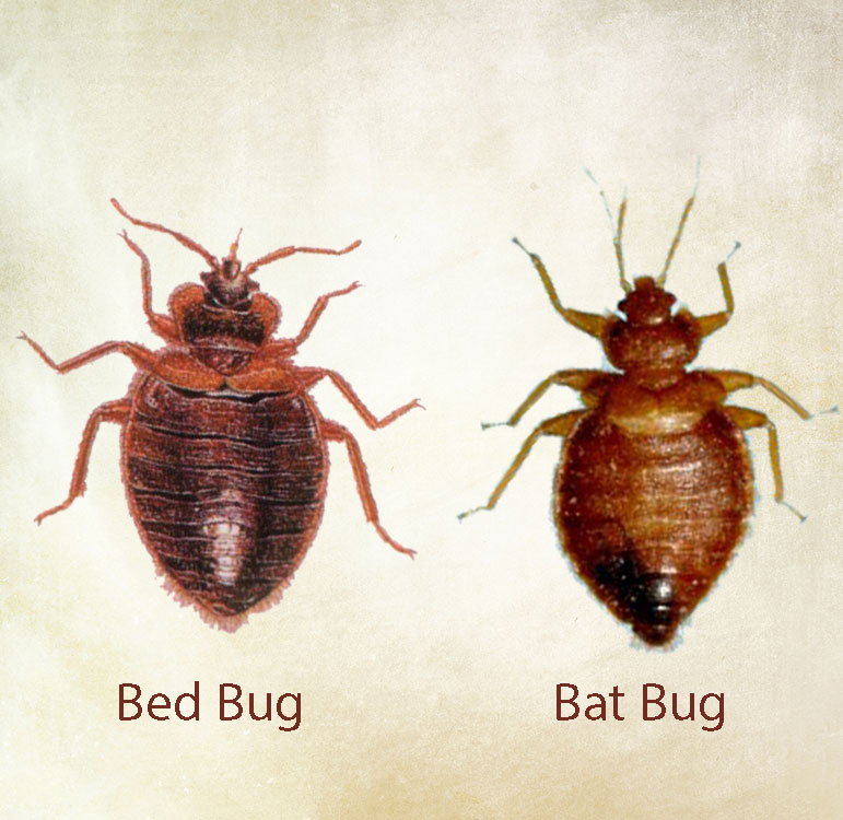 Insects That Look Like Bed Bugs But Aren T