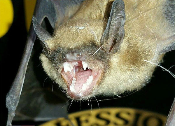 This bat has some seriously sharp teeth. Leave the removal of bats to a All Wildlife Removal LLC specialists. We know  the bat business!