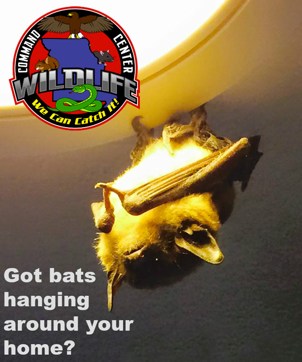 Got a bat hanging around in your home. Call The Command Center.