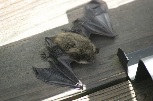 Bat on a deck