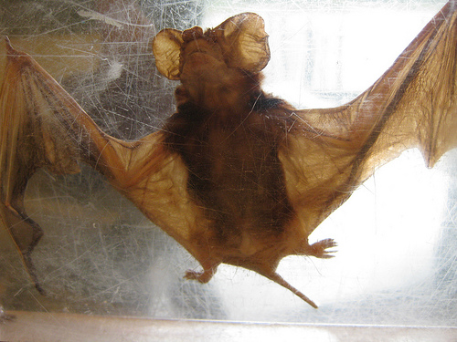 Bat in caught in spider web