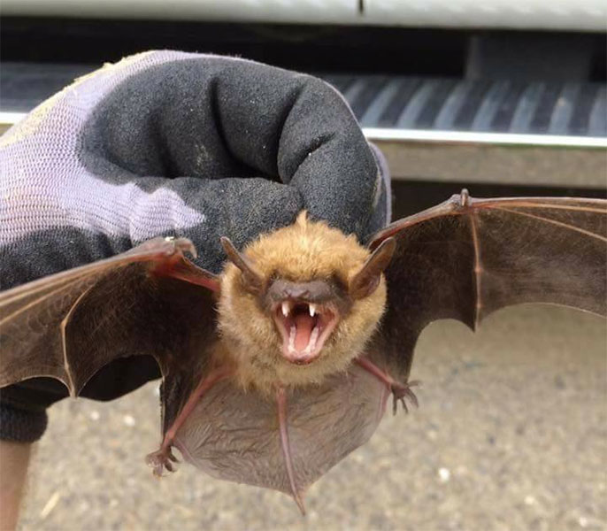 This bat was captured in a clients attic. Many more as well.