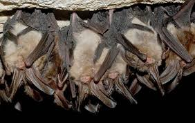 Bats hibernating in a cave