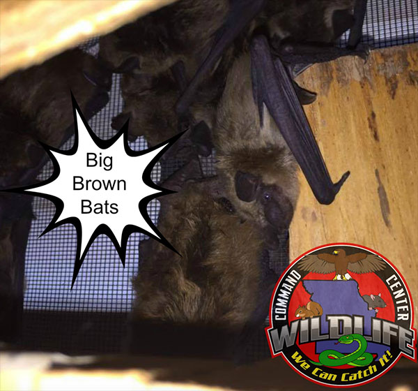 Got a bat hanging around in your home. Call The Command Center.  We are the Roseville Bat Removal Specialists.