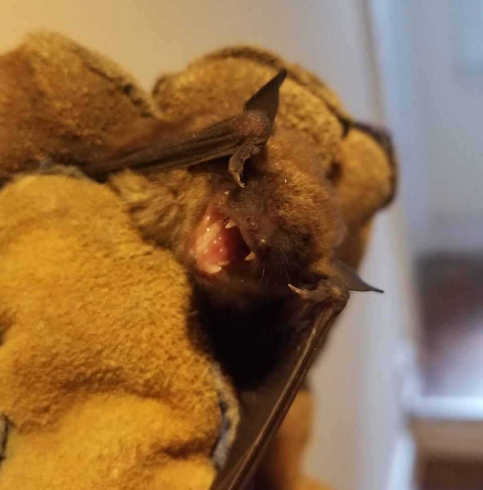 Caught This Big Brown Bat Flying Around In A Client's Home Late At Night.