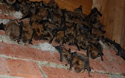 What To Do About Bats In The Attic During Bat Maternity Season