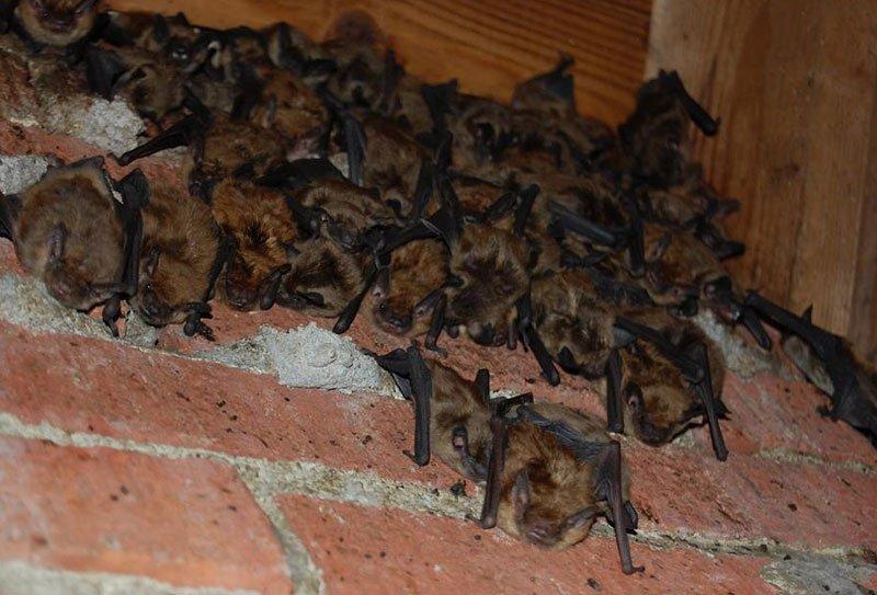 Seguin Bat Removal finds colonies of bats in attics