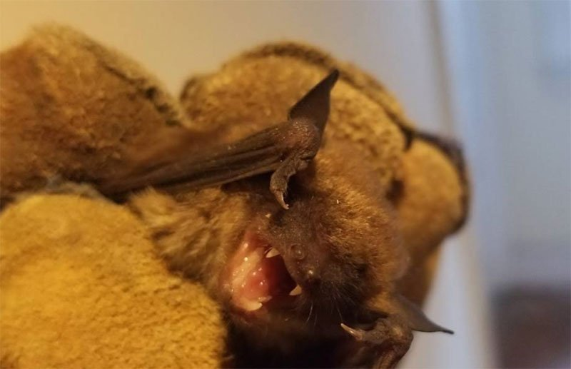 Bat Removal Bridgeport Connecticut Caught This Big Brown Bat Flying Around In A Client's Home Late At Night.