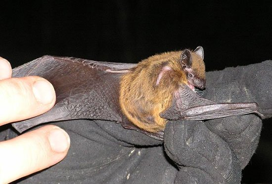 bat species. This image is a work of a U.S. Army soldier or employee, taken or made as part of that person's official duties. As a work of the U.S. federal government, the image is in the public domain.