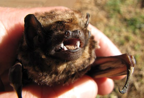 bat species. thanks to Forest & Kim Starr, CC BY 3.0 US <https://creativecommons.org/licenses/by/3.0/us/deed.en>, via Wikimedia Commons