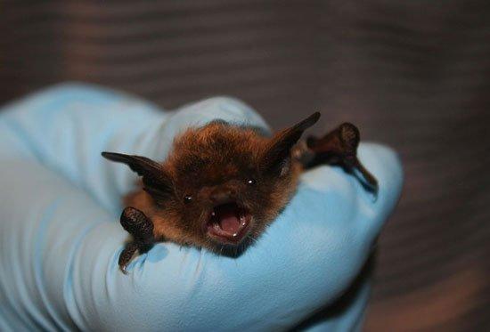 bat species. thanks to U.S. Fish and Wildlife Service Headquarters, Public domain, via Wikimedia Commons