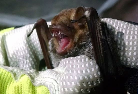 bat species: thanks to Enwebb, CC BY-SA 4.0 <https://creativecommons.org/licenses/by-sa/4.0>, via Wikimedia Commons